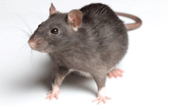 Arti Mimpi Tikus Versi Primbon Jawa dan Pandangan Ahli